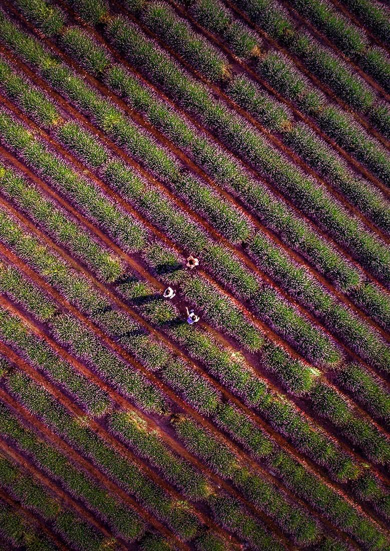 fotografia-aerea-con-dron-phantom-4-pro-campo-lavanda